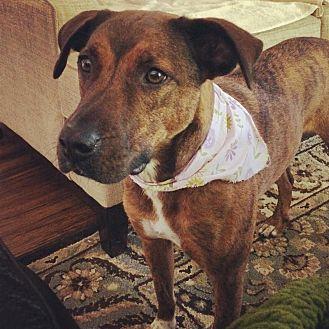 Boxer/Plott Hound Mix Dog for adoption in Shelbyville, Kentucky - Tipster