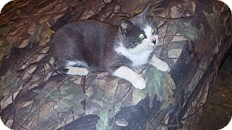 American Bobtail Kitten for adoption in Albemarle, North Carolina - Ulysses S Grant