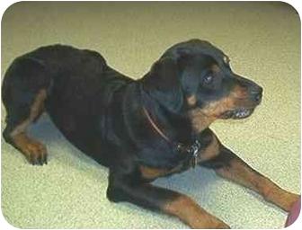 Rottweiler Dog for adoption in Silver Spring, Maryland - Jasmine