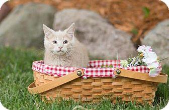 Himalayan Kitten for adoption in Hastings, Minnesota - Rafeal