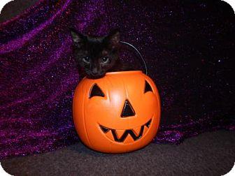 Domestic Shorthair Kitten for adoption in Old Fort, North Carolina - Mr. Binx