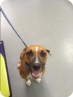 Catahoula Leopard Dog/Black Mouth Cur Mix Dog for adoption in Raleigh, North Carolina - A - GUS