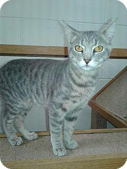 Domestic Shorthair Cat for adoption in Ozark, Alabama - Al