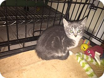 Domestic Shorthair Kitten for adoption in Forest Hills, New York - Teenie