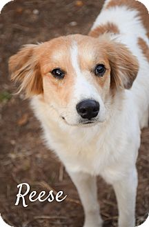 Bearded Collie Mix Dog for adoption in DFW, Texas - Reese