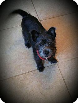 Scottie, Scottish Terrier/Terrier (Unknown Type, Small) Mix Puppy for adoption in Tijeras, New Mexico - Chewy