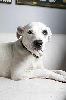 Hound (Unknown Type)/Labrador Retriever Mix Dog for adoption in Inglewood, California - Lily