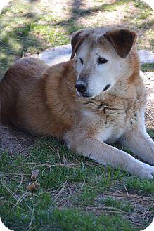 Golden Retriever Dog for adoption in Mountain Center, California - Bob