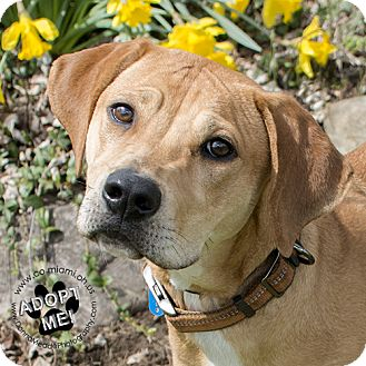 Hound (Unknown Type) Mix Dog for adoption in Troy, Ohio - Gracie- Pending Adoption