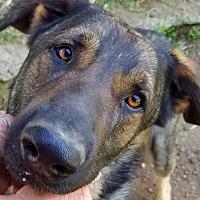 Adopt A Pet :: Midnight - Kingston, TN