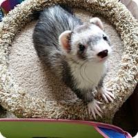 Adopt A Pet :: HARLEY & IVY & SNOW & SCOOTER - Brandy Station, VA