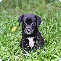 Adopt A Pet :: Shelton - South Dennis, MA