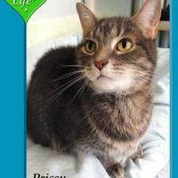 Adopt A Pet :: Prissy - Shelbyville, KY