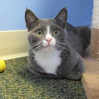 Domestic Shorthair/Domestic Shorthair Mix Cat for adoption in Northfield, Minnesota - George