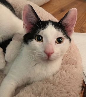 Domestic Shorthair Kitten for adoption in Devon, Pennsylvania - Katrina