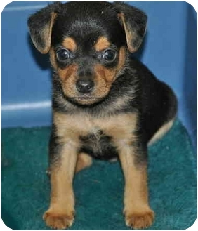 Beagle/Dachshund Mix Puppy for adoption in La Habra Heights, California - Tommy