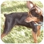 Photo 2 - Miniature Pinscher Mix Dog for adoption in Los Angeles, California - Lolita (Lucy)