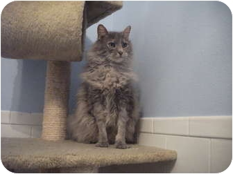 Domestic Mediumhair Cat for adoption in Edwardsville, Illinois - Dunno