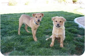 Golden Retriever Mix Puppy for adoption in California City, California - Cubby