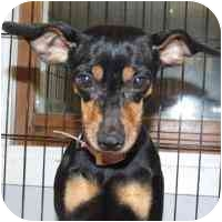 Miniature Pinscher Mix Dog for adoption in Coleraine, Minnesota - Faith