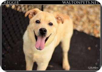 Labrador Retriever/Chow Chow Mix Dog for adoption in Monroe, Georgia - Reggie