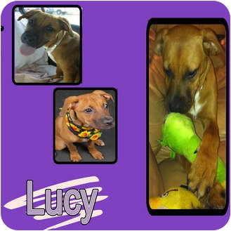 Terrier (Unknown Type, Medium) Mix Puppy for adoption in Hollywood, Florida - LUCY