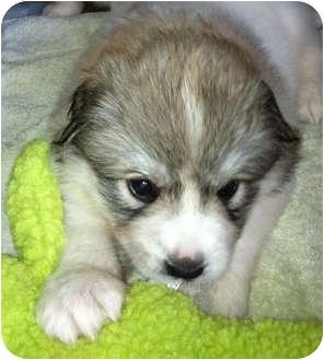 Great Pyrenees/Australian Shepherd Mix Puppy for adoption in Wimberley, Texas - Domino