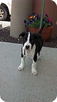 Shepherd (Unknown Type) Mix Puppy for adoption in Chino Valley, Arizona - Bobby