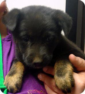 Australian Cattle Dog Mix Puppy for adoption in Manassas, Virginia - Pam