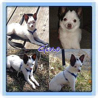 Chihuahua Puppy for adoption in Sterling Heights, Michigan - Gino