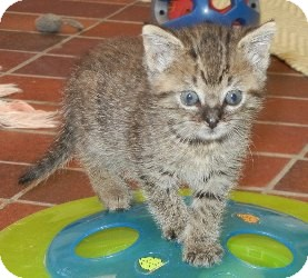 American Shorthair Kitten for adoption in Des Moines, Iowa - Hazel