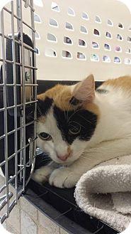 Domestic Shorthair Cat for adoption in bridgeport, Connecticut - Cleo