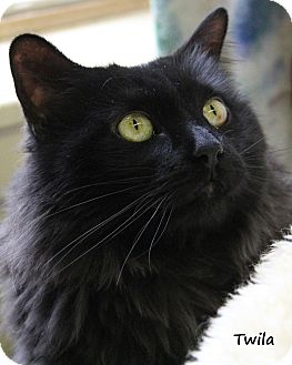 Domestic Longhair Cat for adoption in Divide, Colorado - Twila