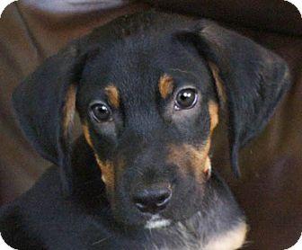 Beagle/Miniature Pinscher Mix Puppy for adoption in Spring Valley, New York - Mitch