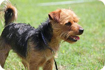 Yorkie, Yorkshire Terrier Dog for adoption in Staunton, Virginia - Buddy Plunk