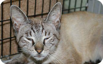 Domestic Shorthair Cat for adoption in Brooksville, Florida - Indigo