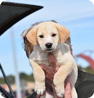 Labrador Retriever Mix Puppy for adoption in Groton, Massachusetts - Wilco