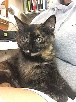 Domestic Mediumhair Kitten for adoption in Cashiers, North Carolina - Patti