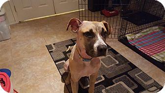 Boxer/Hound (Unknown Type) Mix Dog for adoption in Goodyear, Arizona - Spirit