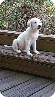Great Pyrenees Mix Puppy for adoption in Croydon, New Hampshire - Pumpkin -Adopted