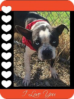 Boston Terrier/Blue Heeler Mix Dog for adoption in Weatherford, Texas - Jacob