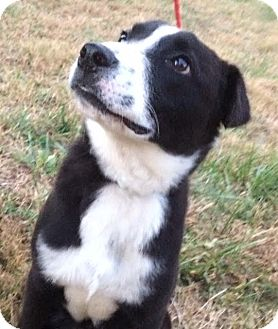 Labrador Retriever/Border Collie Mix Puppy for adoption in Leesburg, Virginia - Tommy pup
