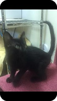 Domestic Shorthair Kitten for adoption in Fountain Hills, Arizona - DUCKY