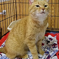 Domestic Shorthair Cat for adoption in Geneseo, Illinois - Frank