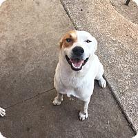 Adopt A Pet :: Haley and Chance - Austin, TX