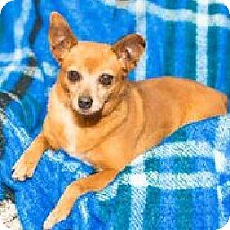 Miniature Pinscher/Pomeranian Mix Dog for adoption in Houston, Texas - A - JEWLEE