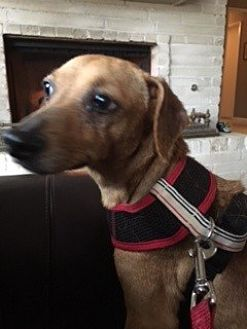Dachshund Dog for adoption in Pearland, Texas - Amy