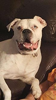 American Bulldog Mix Dog for adoption in Glastonbury, Connecticut - Leonardo~video!