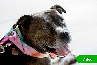 Pit Bull Terrier/Boxer Mix Dog for adoption in Durham, North Carolina - Maghee