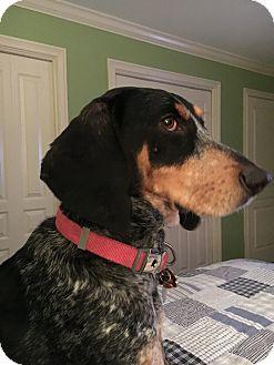 Bluetick Coonhound Dog for adoption in Portland, Maine - JUNEbug